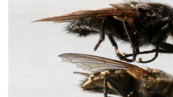 Herfst en Klustervliegen